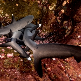 ©-Sylvie-Ayer-Mexico-Revilligigedos-white-tip-shark