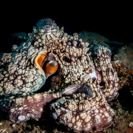 ©-Sylvie-Ayer-Mexico-Socorro-Day-Octopus