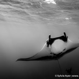 ©-Sylvie-Ayer-Mexico-Socorro-Oceanic-Manta