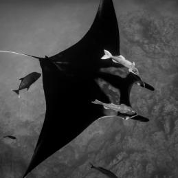 ©-Sylvie-Ayer-Mexico-Socorro-Oceanic-Manta-birostris