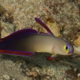 ©-Sylvie-Ayer-Philippines-VIsayas-Decorated-Dartfish-Nemateleotris-decora