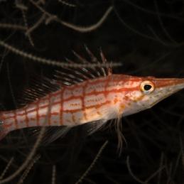 ©-Sylvie-Ayer-Philippines-VIsayas-Longnose-Hawkfish-Oxycirrhites-typus