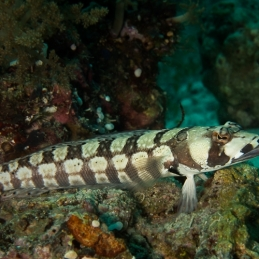 ©-Sylvie-Ayer-Philippines-VIsayas-Reticulated-sandperch-Parapercis-tetracantha