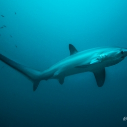 ©-Sylvie-Ayer-Philippines-VIsayas-requin-renard-pélagique-Alopias-pelagicus