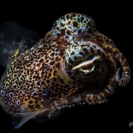 ©-Sylvie-Ayer-Philippines-Visayas-Berrys-bobtail-squid-Euprymna-berryi