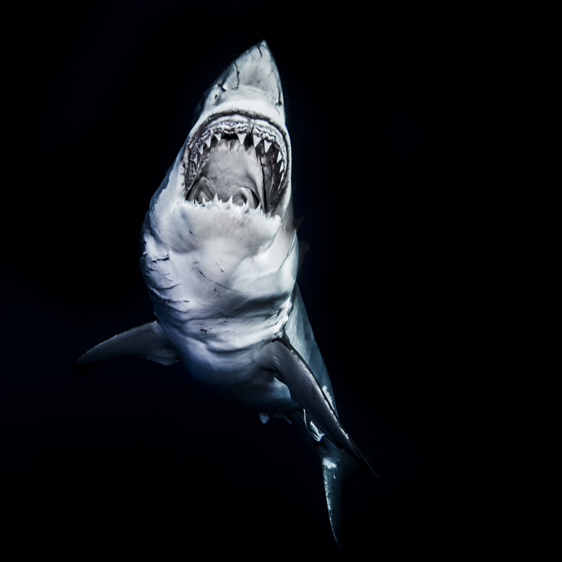 Top Dossier Requins