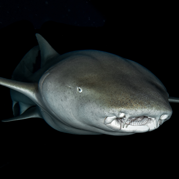 Top dossier nurse sharks EN