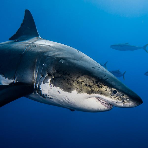 Top dossier requin blanc